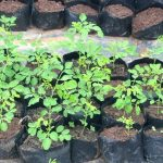 moringa seedlings